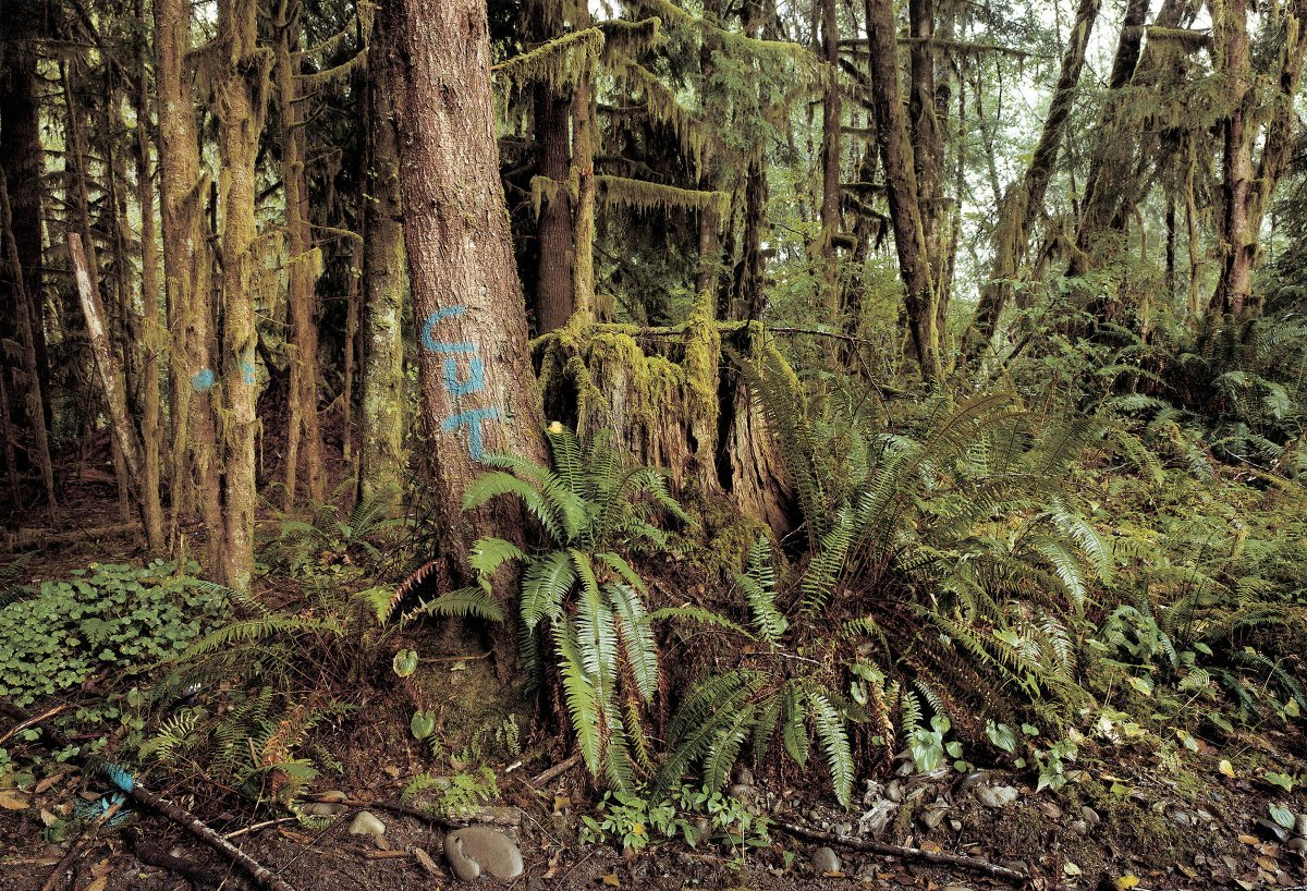 Hoh Valley Rain Forest, Logging in Olympic National Forest, Washington 1997