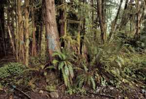 Hoh Valley Rain Forest , Logging in Olympic National Forest, Washington 1997